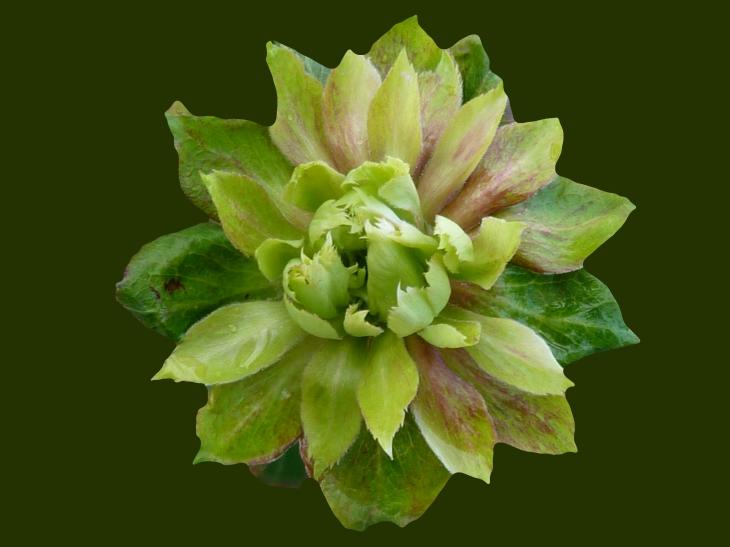 Viridifolia_Green_Rose.jpg