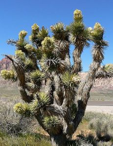 462px-Yucca_brevifolia_in_bloom