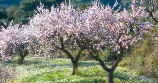 Almond-Blossom-in-Valencia