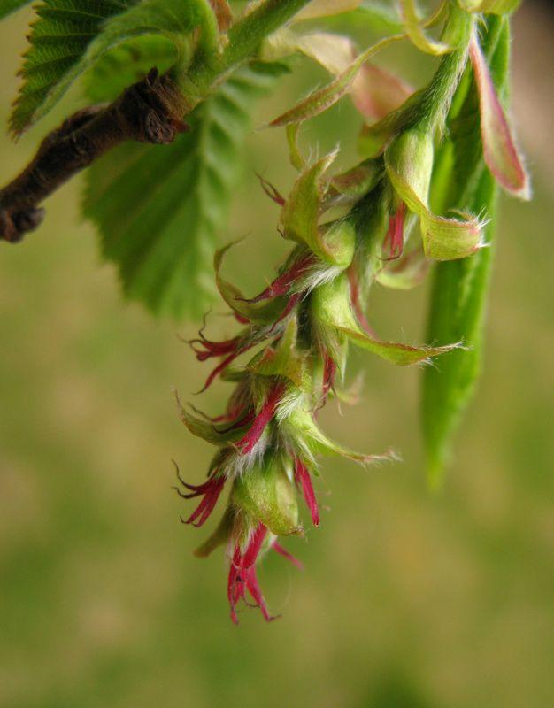 flor femenina carpe Hornbeam