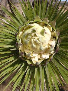 Joshua_tree_(Yucca_brevifolia)_flower_bud
