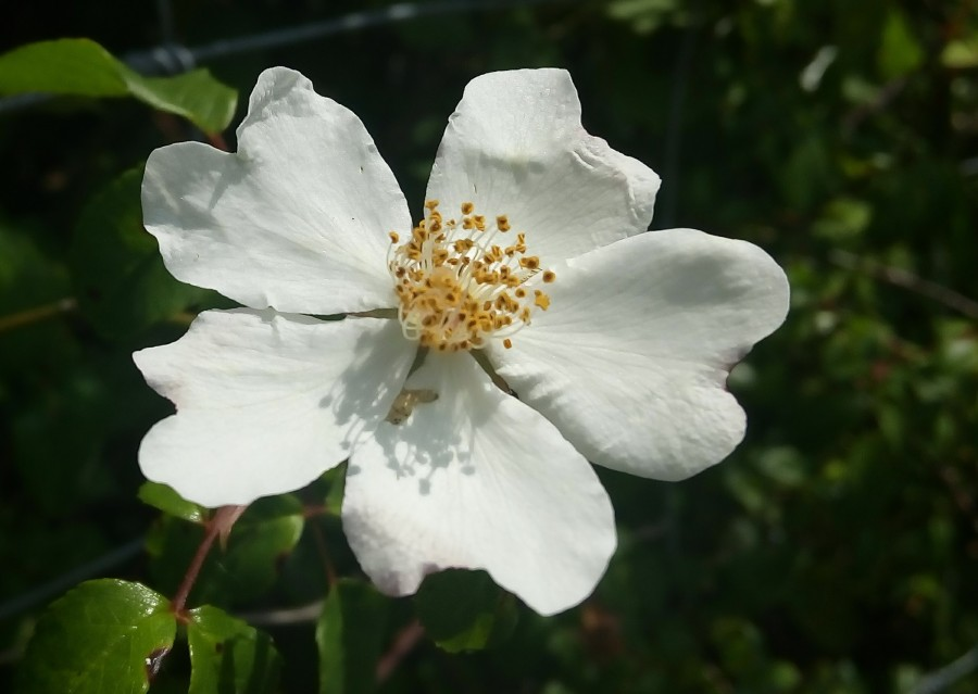 La Rosa (o el fuego delcorazón)