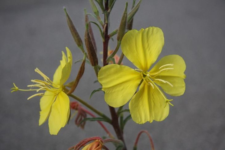800px-Evening_primrose_Oenothera_elata_two_flowers.jpg