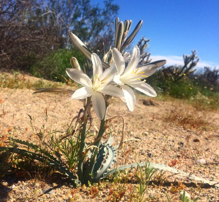Desert Lily_20180829_122428.png