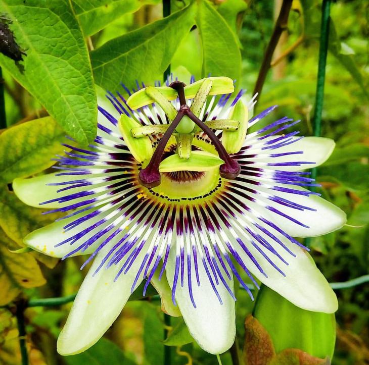 Passiflora_20180304_231010.png