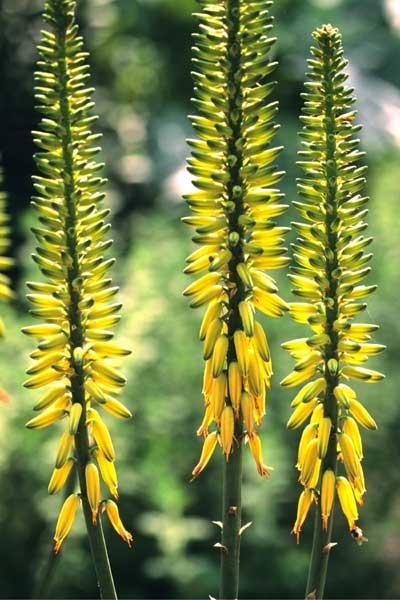 Aloe-vera-flowers