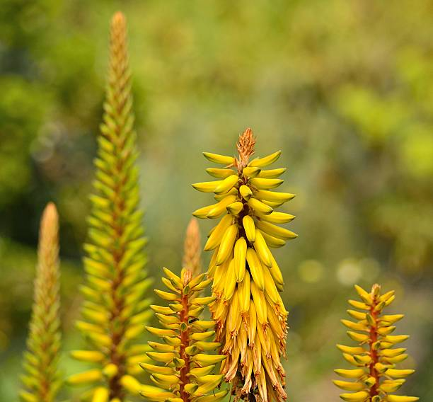 Long spikes with wild flowers of aloe vera