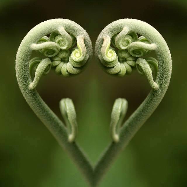 fern heart