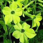 Nicotiana-lime-