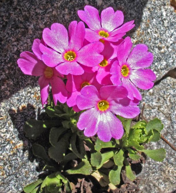 primula-suffrutescens-vernon-smith.jpeg
