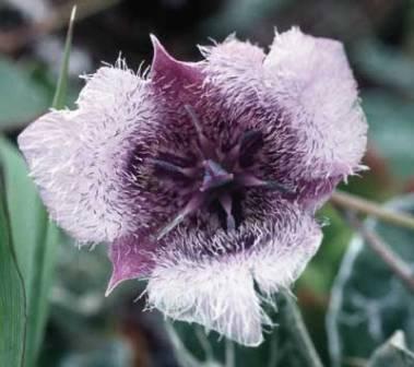 Star-Tulip