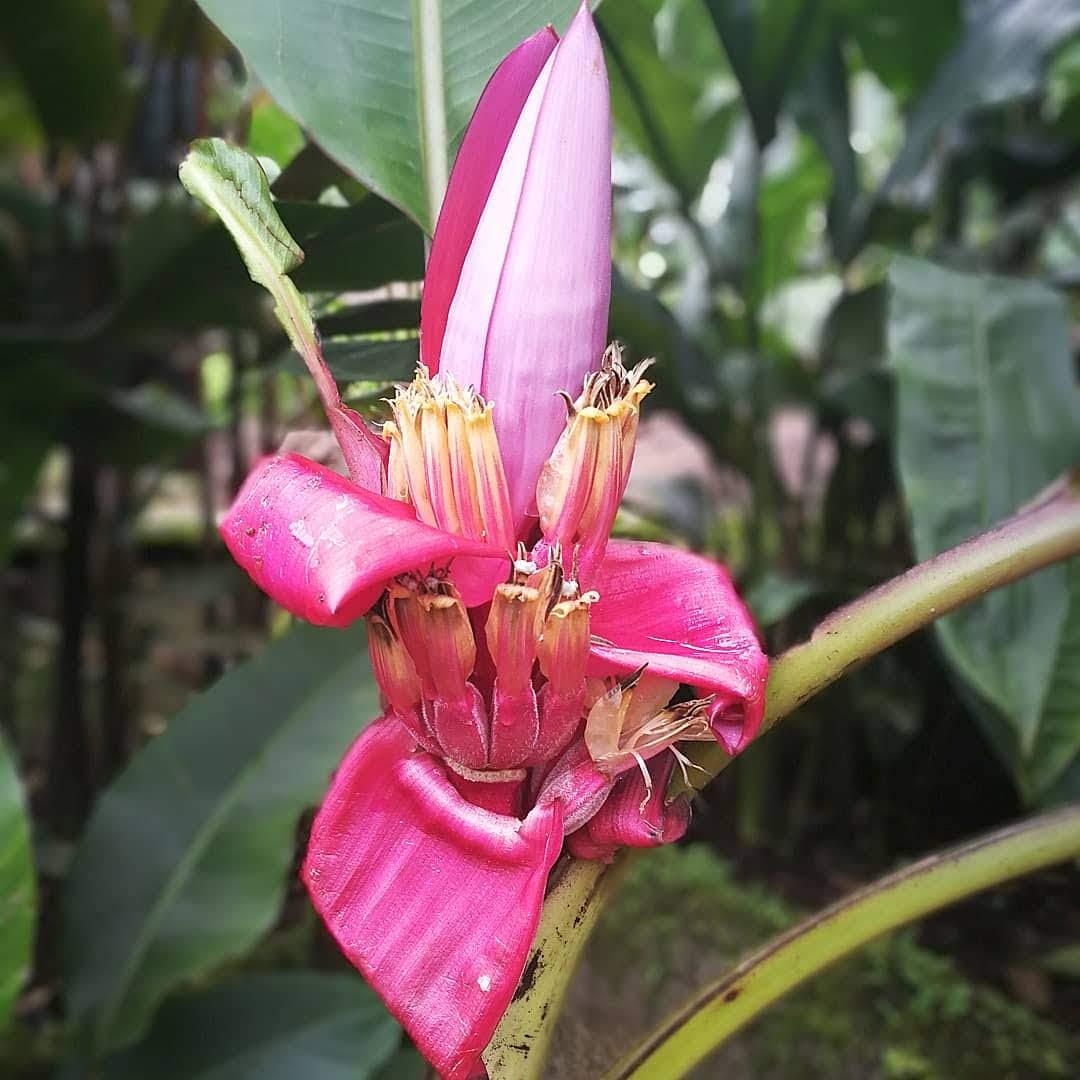 Banana Flor Del Plátano Maduro Guineo La Energía De Las Flores