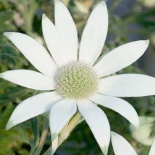 Flannel-flower-midrange_1