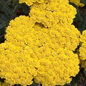 Golden Yarrow