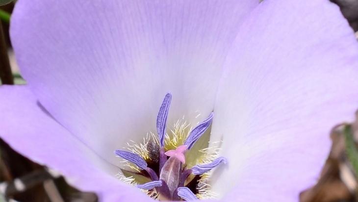 Splendid-mariposa-lily-dentro.jpg
