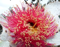 eucalyptus-macrocarpa-hook-photo-by-philippa-schmucker.-mottlecah-1024x768