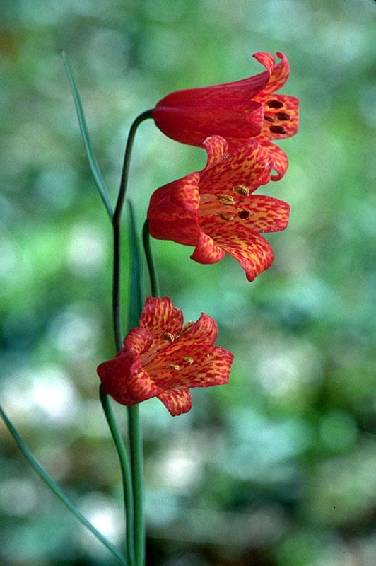 Fritillariarecurva Cascade Mountains Oregon.jpg