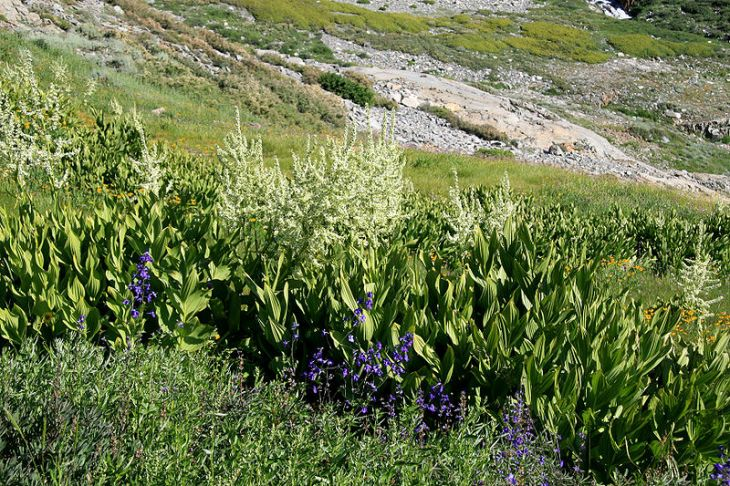 800px-Corn_lilies_Veratrum_californicum_Black_Rock_Pass
