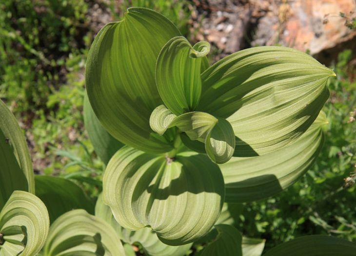 800px-Corn_lily_Veratrum_californicum_leaf_swirl