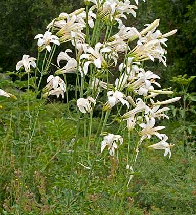 lilium-washingtonianum-ssp-washingtonianum-2989a.jpg