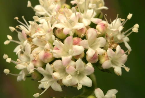 Valeriana Californica.jpeg
