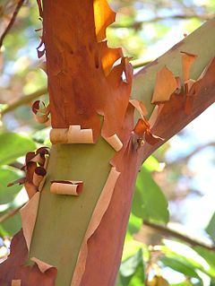 Pacific_Madrone_Arbutus_menziesii_Branch_Fork_2120px