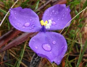 Bush Iris - Patersonia_sp