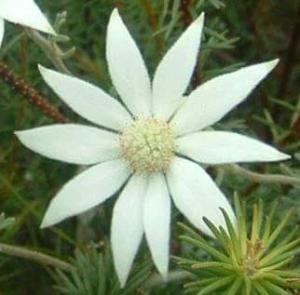 Flannel Flower Amaparo