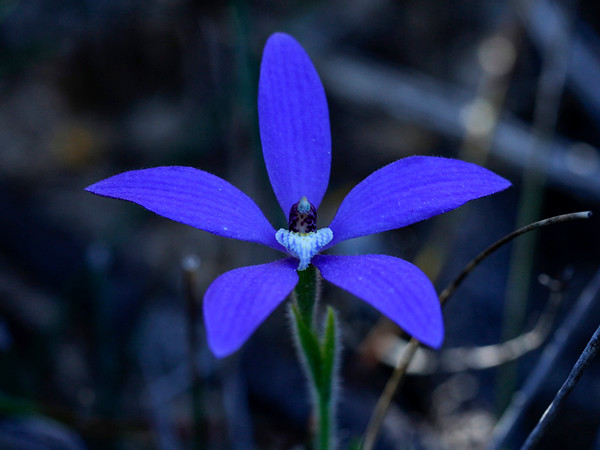 Cyanicula gemmata - Blue China Orchid - MtLsr190918 (7)-M