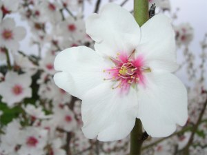 flower_amond_tree