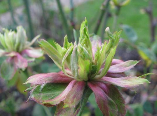 greenrose.png