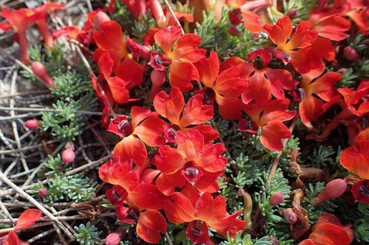 leschenaultia-formosus-grupo.jpg