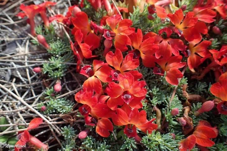 Leschenaultia formosus grupo.jpg