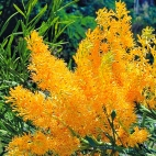 west-australian-christmas-tree-wildflower-seeds_Fothergills