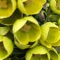Boronia amarilla
