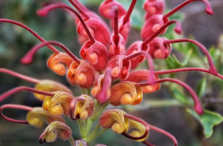 Fuchsia Grevillea.jpg