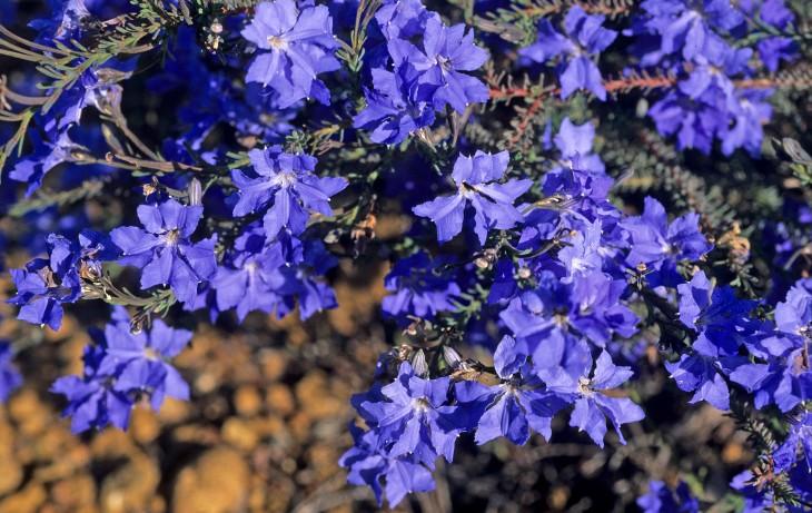 Leschenaultia azul