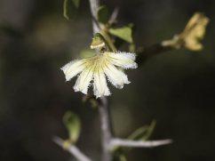 Scaevola-spinescens-Hamelin-2016