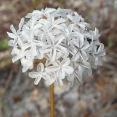 ursinia-anthemoides-g3