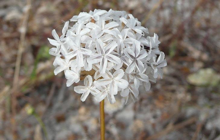 ursinia-anthemoides-g3.jpg