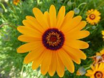 Ursinia anthemoides-img_10774_6758