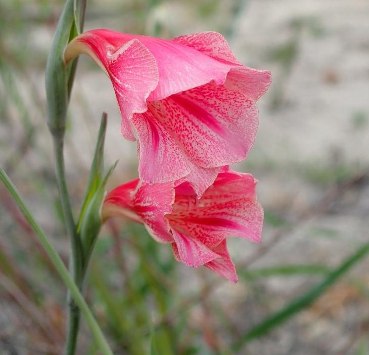 1200px-gladiolus_caryophyllaceus_pa070037.jpg