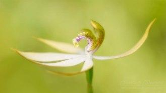 160410-leafless-orchid-Praecoxanthus-aphyllus-3046-5