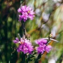 600x600_Melaleuca thymifolia 2