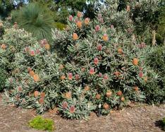 Banksia-Menziesii-5