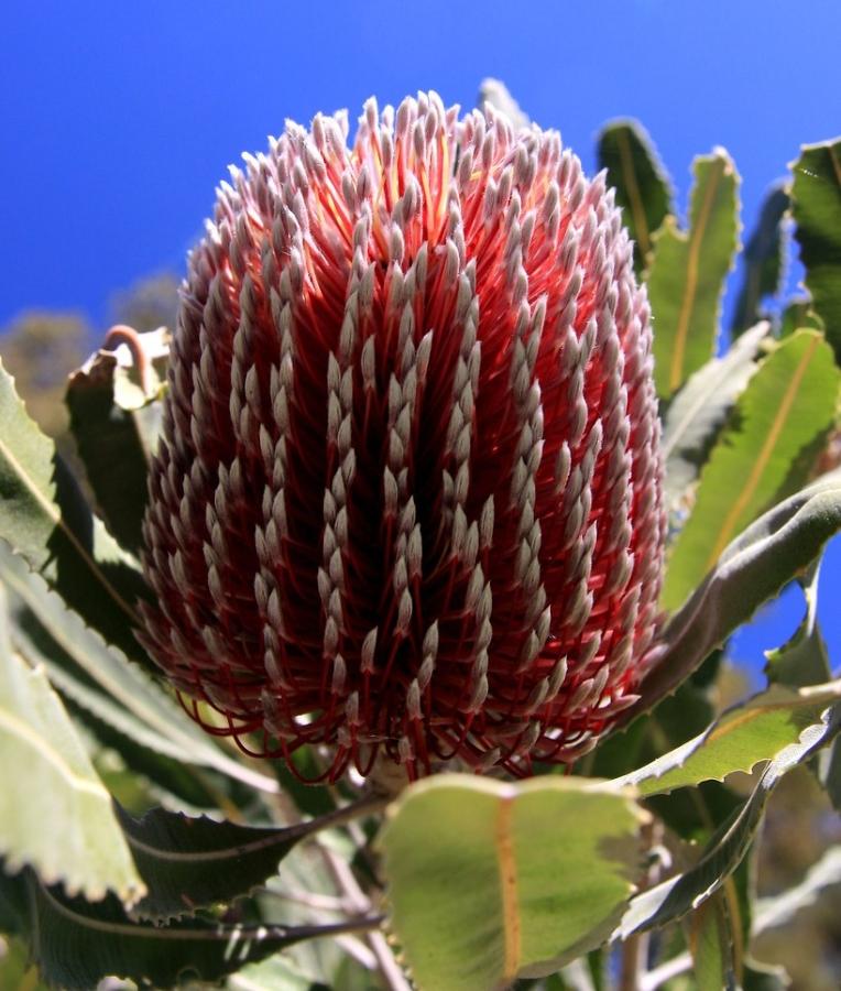 Menzies Banksia (Banksia de Leña, Banksia deMenzies)