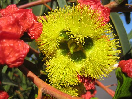 eucalyptus_erythrocorys