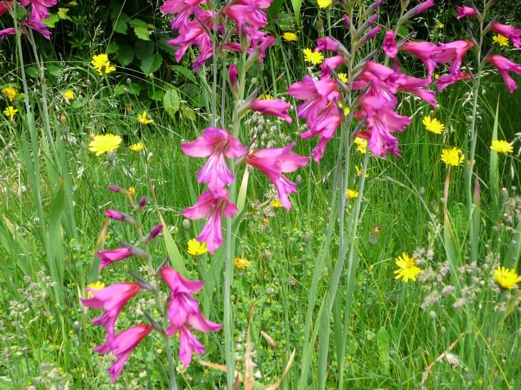 Gladiolus_byzantinus02.jpg