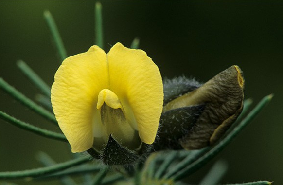Hairy Yellow Pea (Guisante Amarillo Peludo)