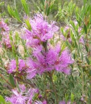 Malalauca thymifolia